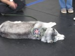 Umbrella Corp (Resident Evil) dog resting after the parade